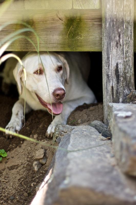 Sunday Snapshot: Sophie Dog Under the Deck   Red-Handled Scissors
