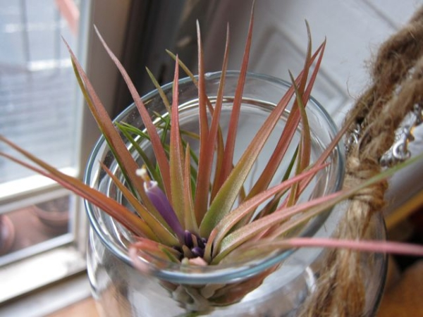 Blooming_Air_Plant