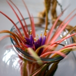 Air Plant Super Bloom | Red-Handled Scissors