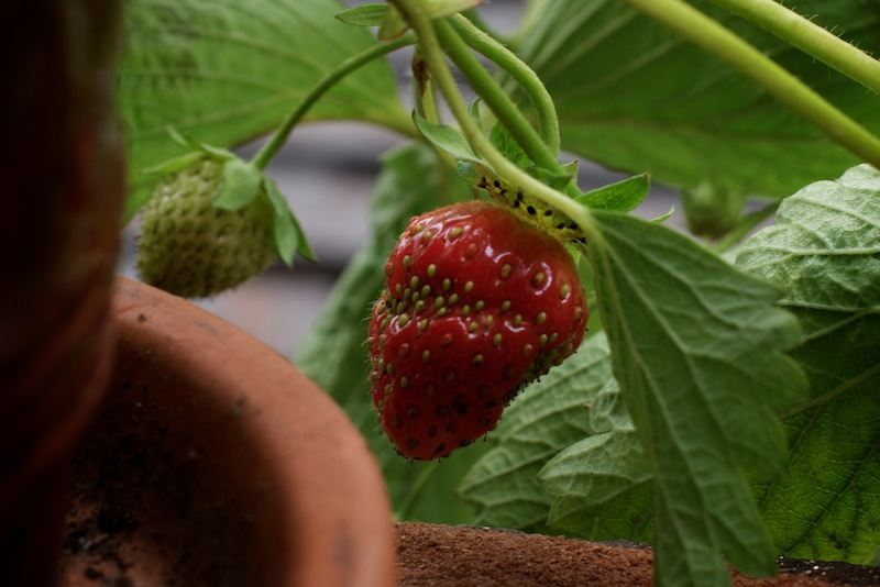 Sunday Snapshot: Fire Escape Strawberries! | Red-Handled Scissors