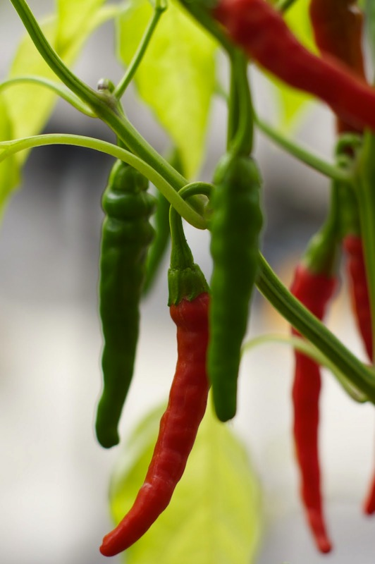 Sunday Snapshot: Hot Peppers | Red-Handled Scissors